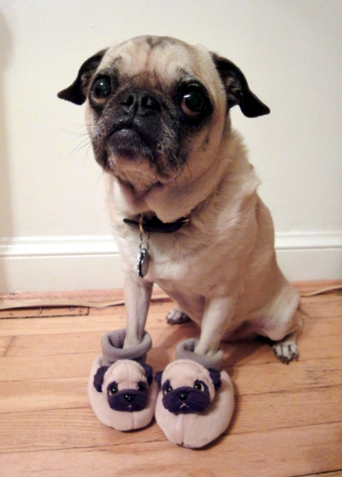 a pug wearing pug house shoes